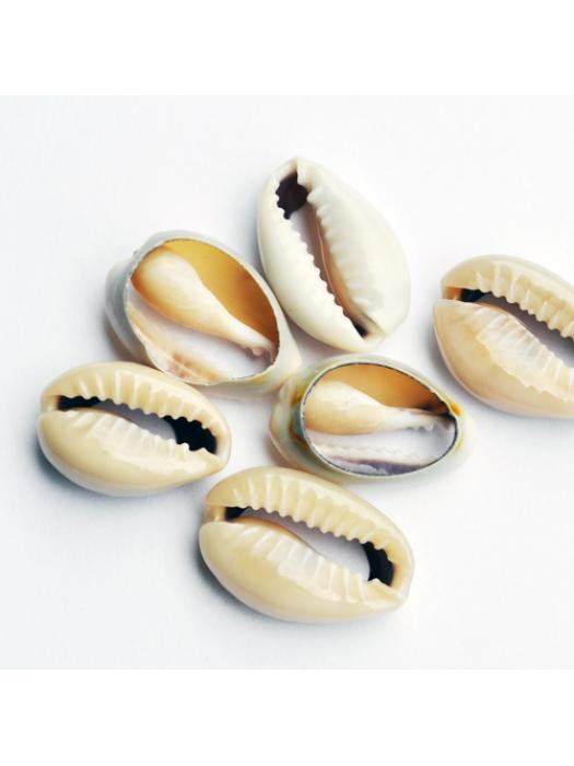 Shell kauri 10 pcs