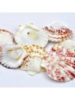 Shell scallop